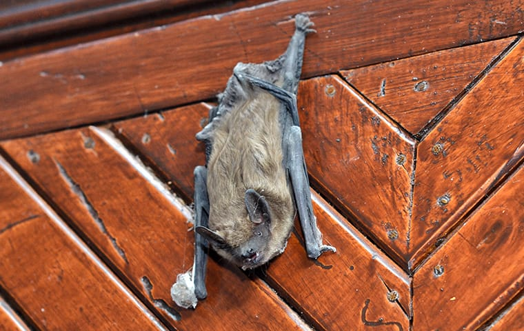 a brown bat hanging on a door in a home in mckinney texas