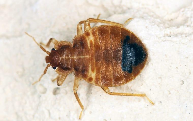 a bed bug crawling on fabric in a princeton texas home