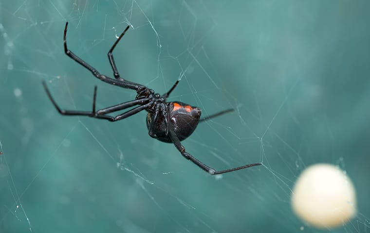 a black widow spider hanging in a web outside of a home in wylie