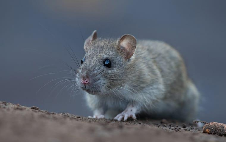 a norwat rat crawling along the foundation of a mckinney texas home