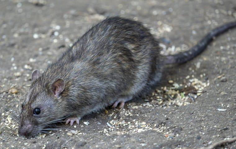 a norway rat crawling along the driveway of a mckinney home
