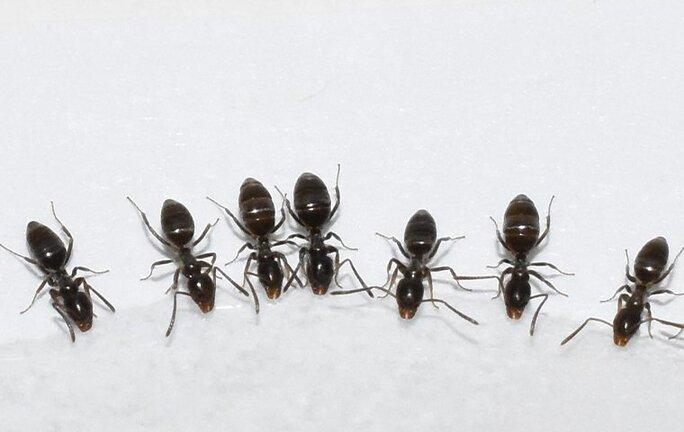 oderouse house ants eating sugar on a kitchen countertop