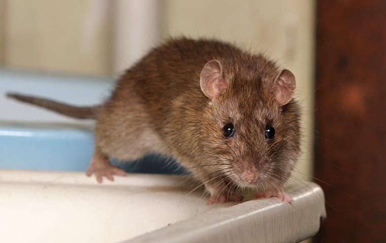 a norway rat crawling along the windowsill of a mckinney texas home