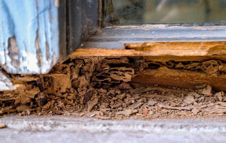 termite damage on a wooden window frame