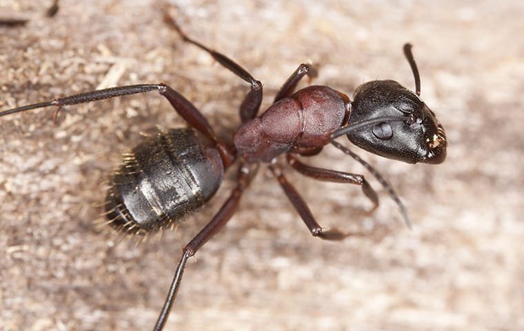 a carpenter ant crawling on a stone wall in a mckinney texas garden