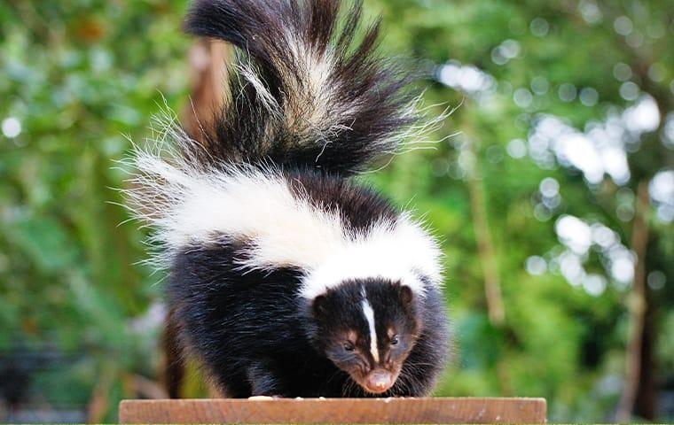 a skunk standing on a bench in a mckinney texas yard
