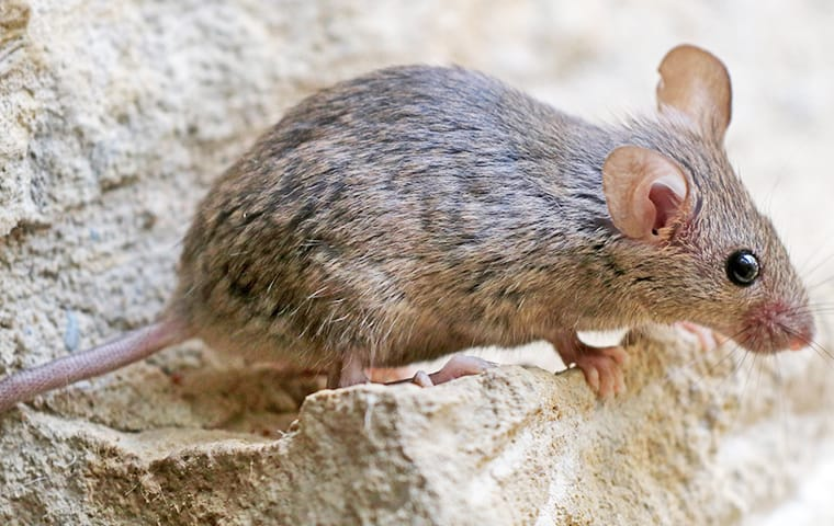 a house mouse crawling near a foundation in mckinney texas
