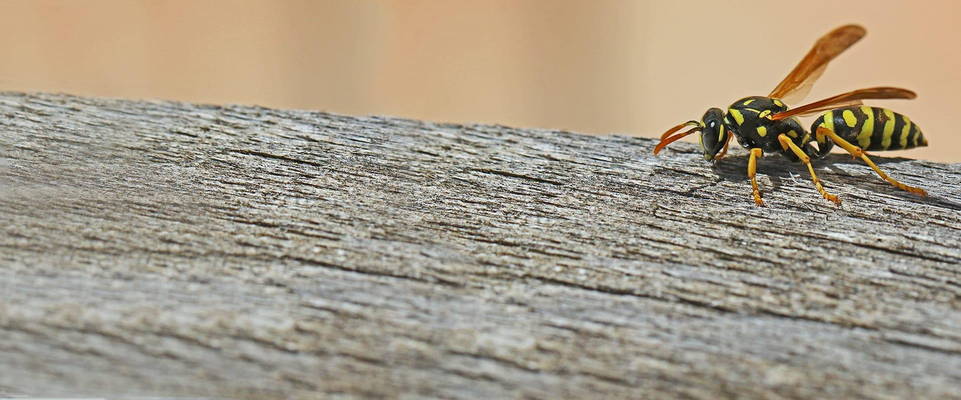 a wasp crawling on a wooden fence in mckinney texas