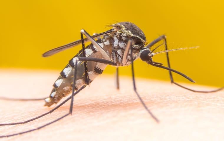 a mosquito crawling on the arm of a frisco texas resident