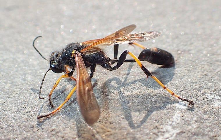 a mud dauber wasp resting on a stone fence in a plano texas yard
