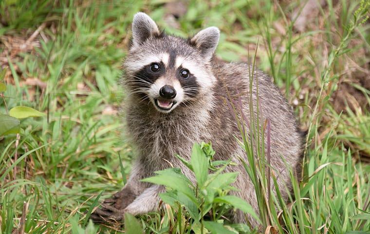 a raccoon eating food in a yard in mckinney texas