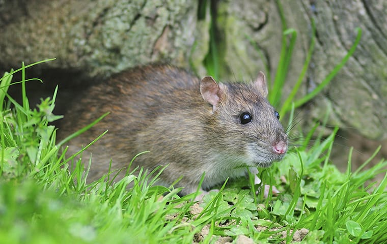 a brown rat crawling in a garden outside an allen texas home