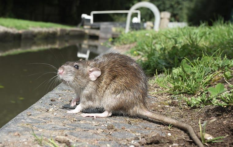 a brown rat standing next to a ditch filled with water in allen texas