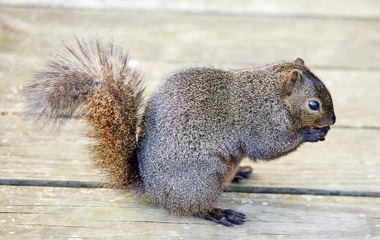 a squirrel eating food on the deck of a plano texas home