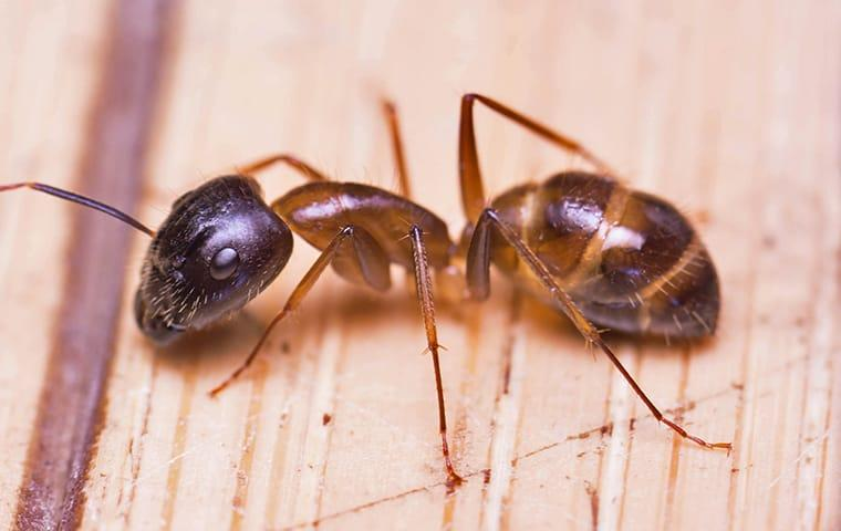 a sugar ant crawling on a kitchen counter in mckinney texas