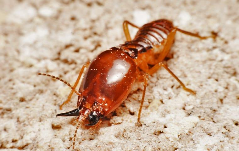 an eastern subterranean termite crawling on the ground outside of a home in van alstyne texas