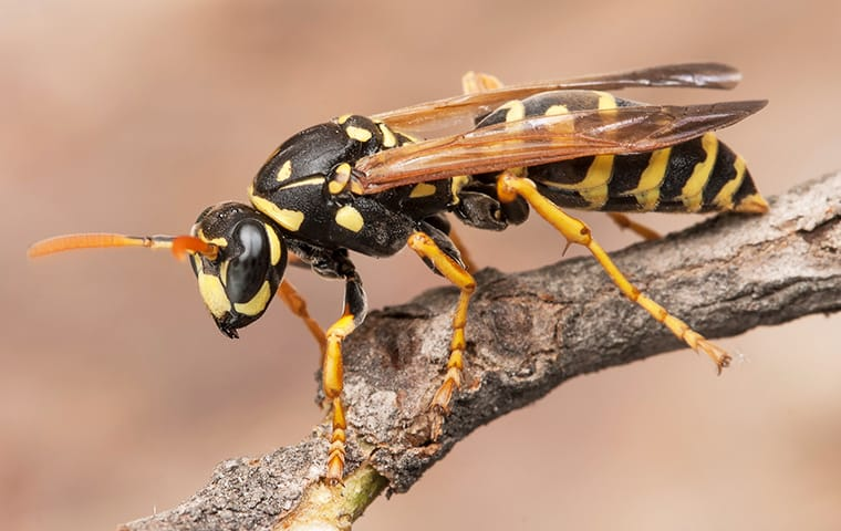 a wasp crawling on a branch outside of a home in sachse texas