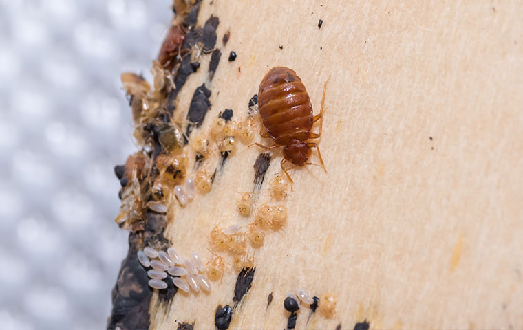 a bed bug and nymphs on a bed frame