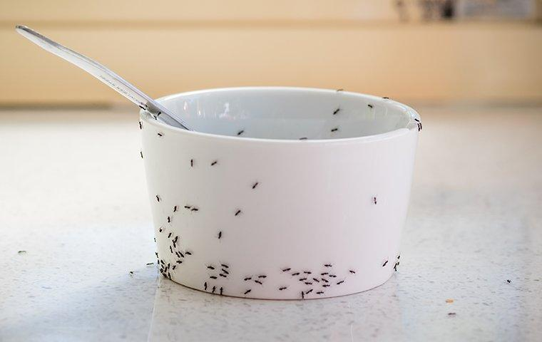 an ant infestation and pest problem in a kitchen