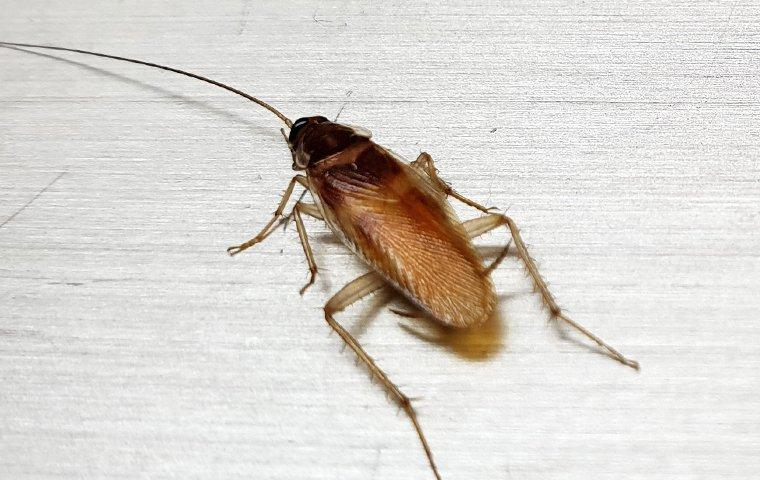 a german cockroach crawling on the floor of a house