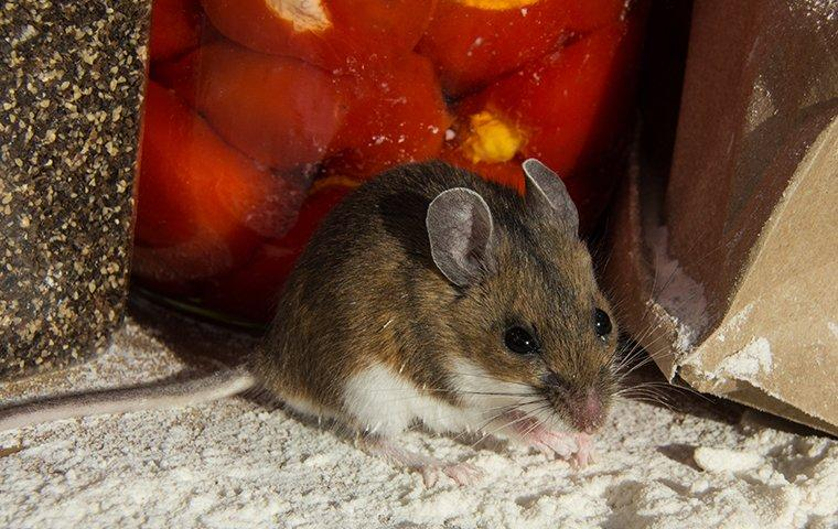 a house mouse crawling on a floor