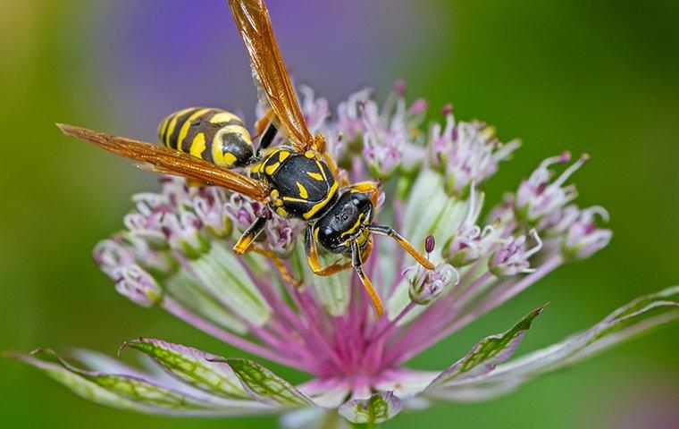 a paper wasp that landed on a purple flower