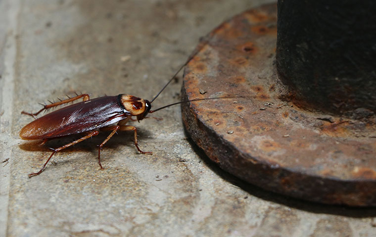 an american cockroach crawling on the ground