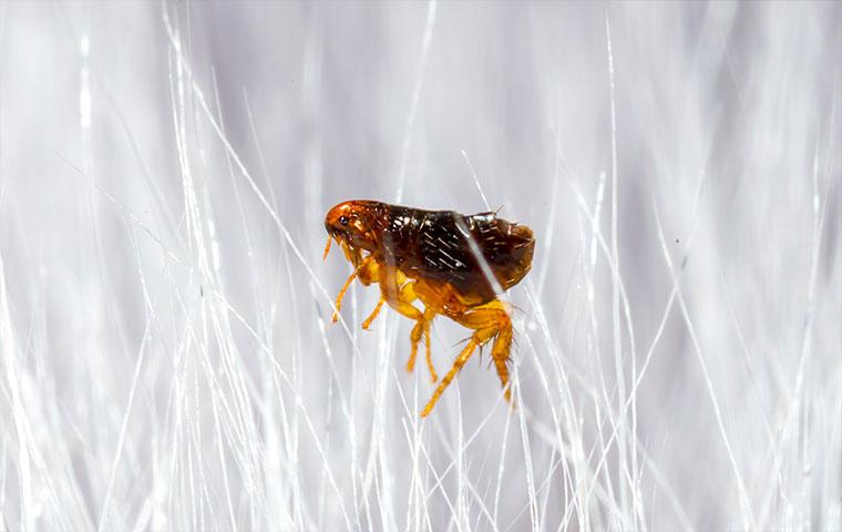 a flea crawling on a dog