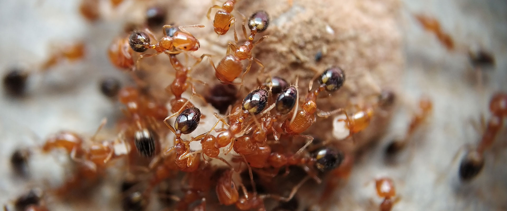 a colony of tropical fire ants