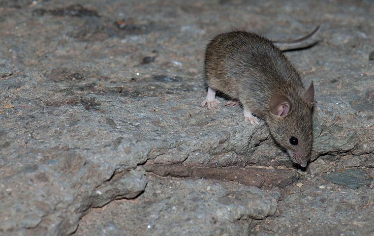 a house mouse crawling outside a home