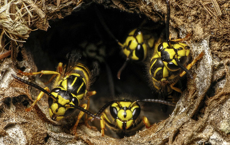 a group of yellow jacket wasps