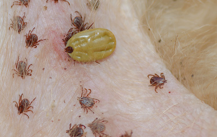 a bunch of ticks on a dog