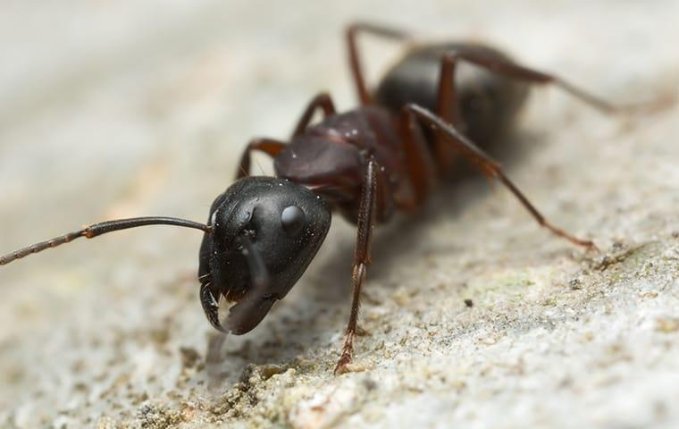 carpenter ant on home foundation