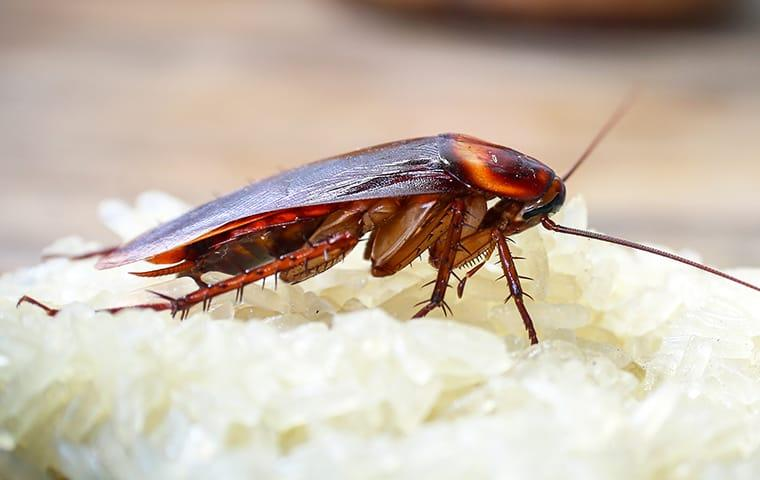 a cockroach crawling on food in a home on grand turk island