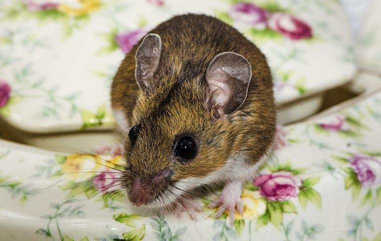 a rat on a dining room table in a home on west caicos