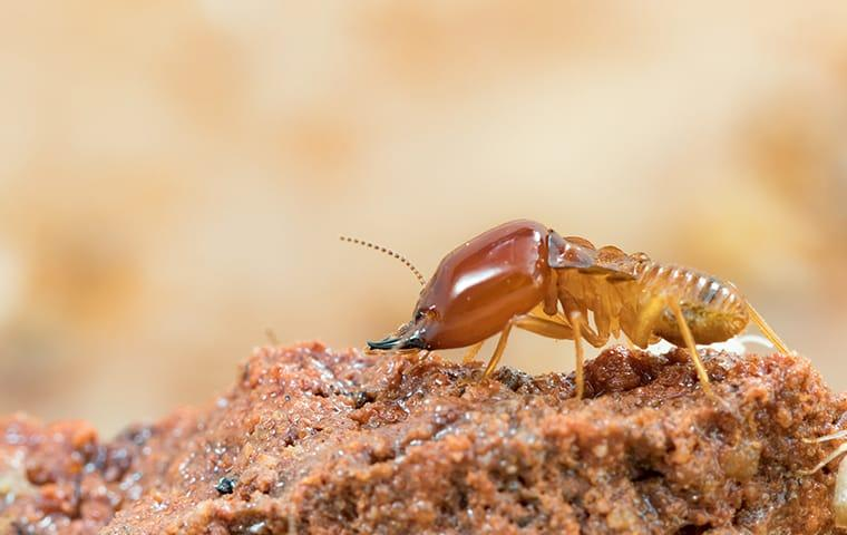 a termite crawling on damaged wood at a home on north caicos island