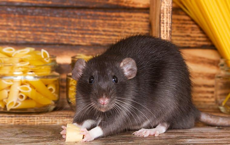 a large rat eating food in a pantry in a home on east caicos island
