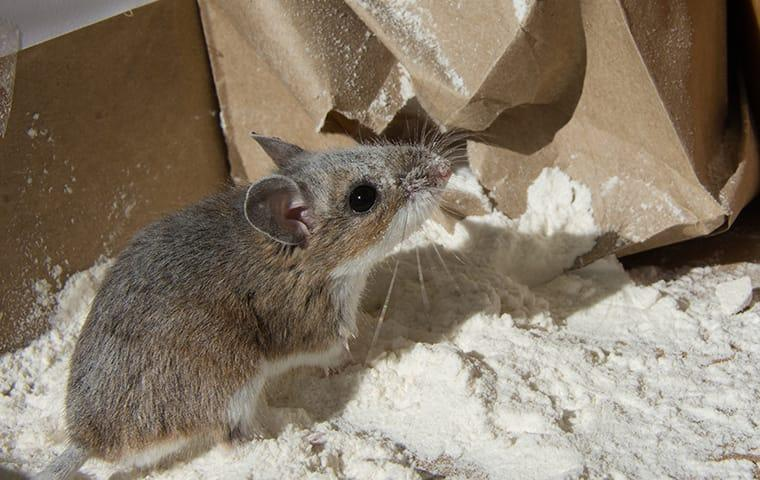 a rat in a pantry in a home on east caicos island