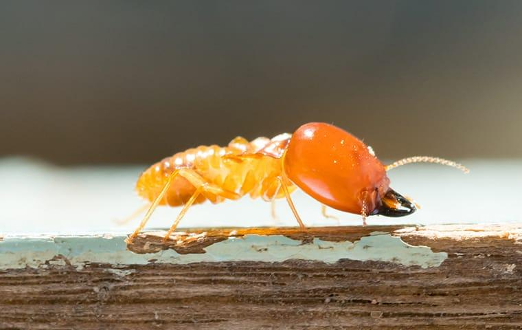 a termite crawling on damaged wood at a home in providenciales