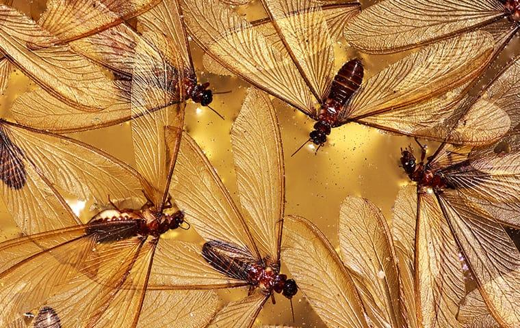 many termite swarmers at a home on south caicos island