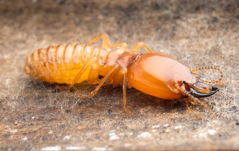 a termite crawling on damaged wood at a home on south caicos island