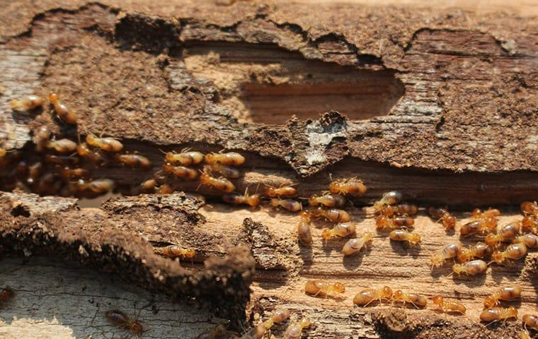 dozens of termites crawling on damaged wood on north caicos island