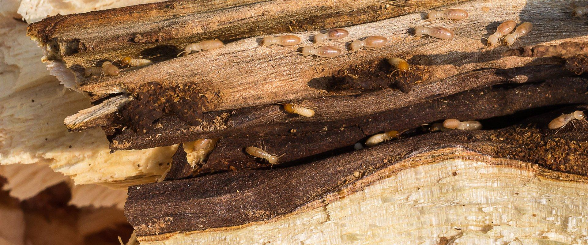 many termites crawling on damaged wood at a home in providenciales