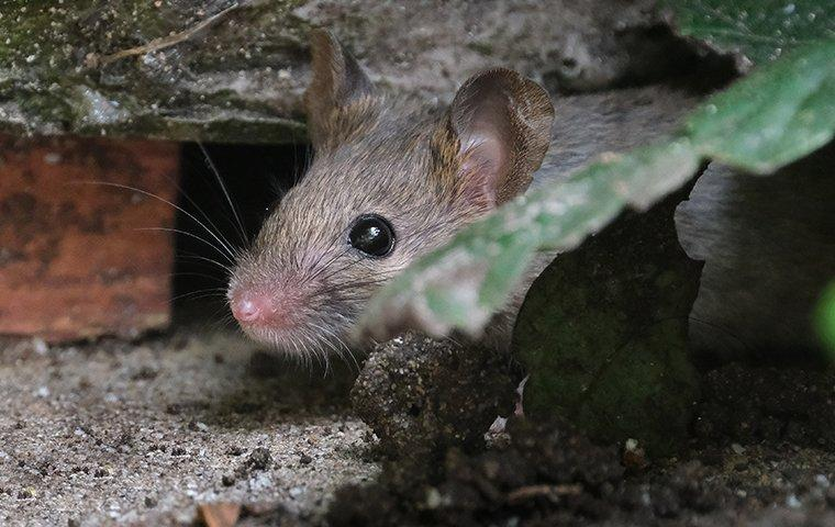 a rat hiding outside of a home on south caicos island