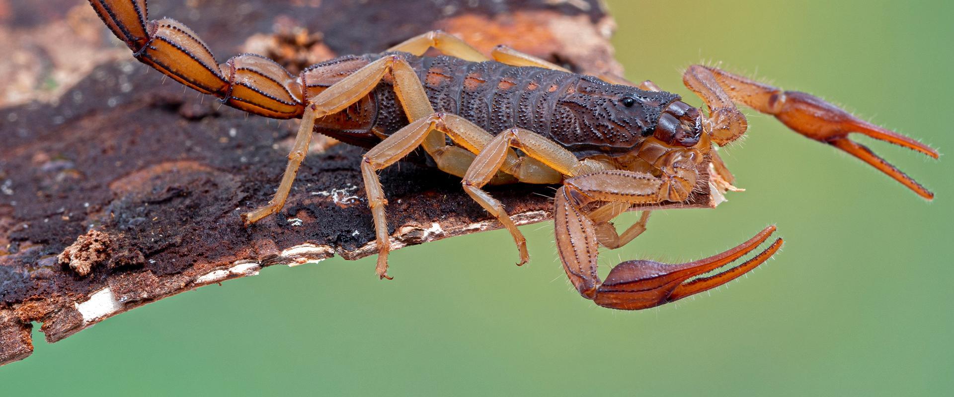 a scorpion on wood in mesa arizona
