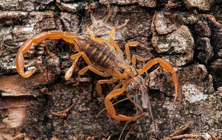 a scorpion on a branch in mesa arizona