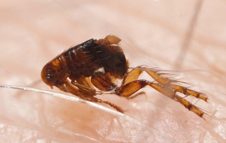 a flea on skin in queen creek arizona