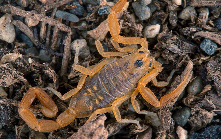 scorpion in the rocks in mesa arizona