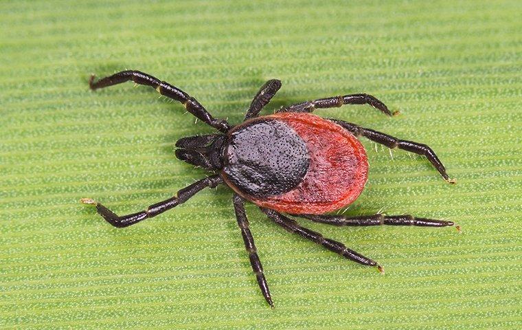 a tick on a leaf in mesa arizona