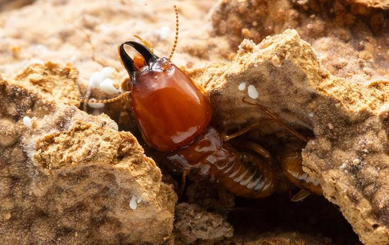 termite crawling out a hole in wood